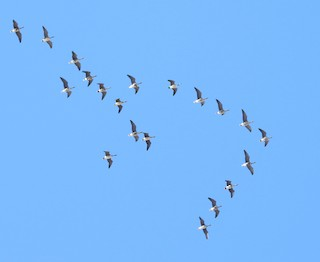 Greater White-fronted Goose, ML51605411