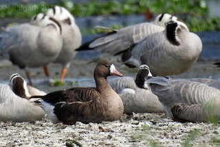 Greater White-fronted Goose, ML51626901