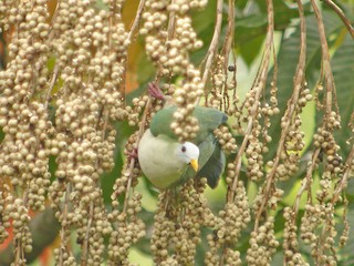 - Maroon-chinned Fruit-Dove