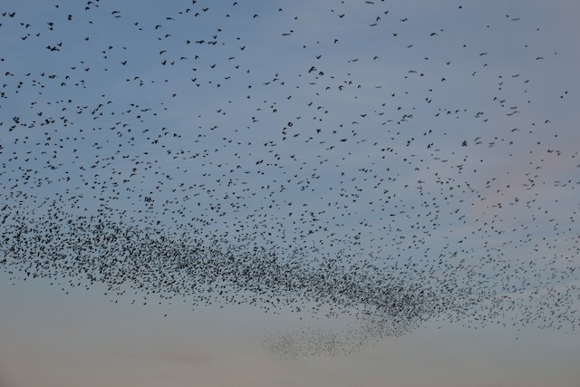 ©Rishi Palit - Red-winged Blackbird