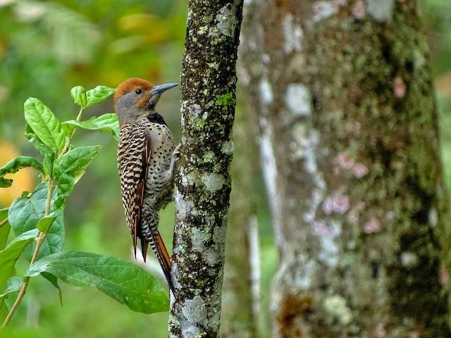 Northern Flicker (Guatemalan)