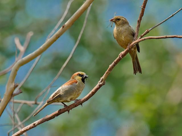 Plain-backed Sparrow