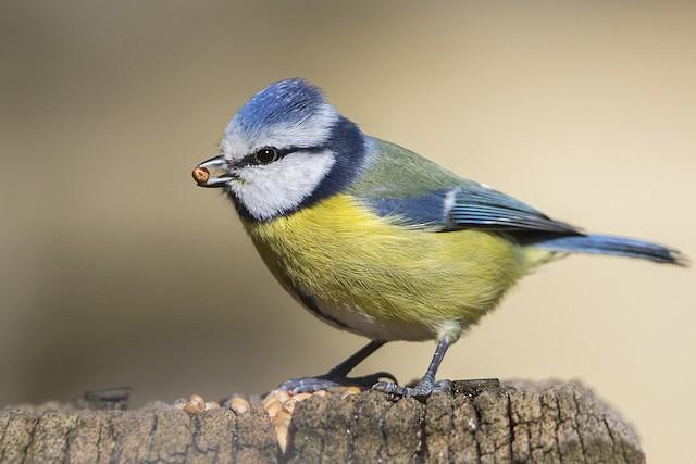 Eurasian Blue Tit - eBird