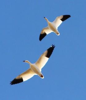 Ross's Goose, ML51972011