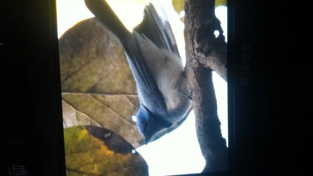 Black-naped Monarch