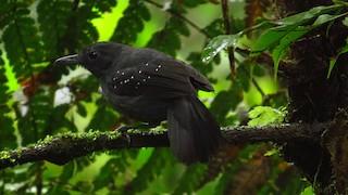 - Spot-winged Antbird