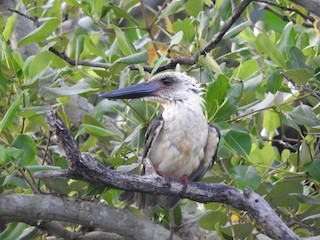 - Great-billed Kingfisher
