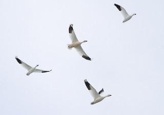 Ross's Goose, ML52098031