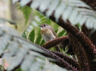 - Fulvous-chested Jungle-Flycatcher