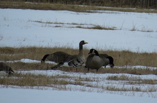 Greater White-fronted Goose, ML52183541
