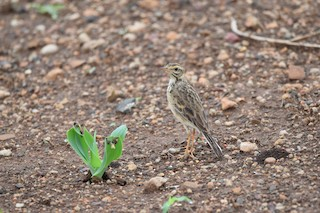 - African Pipit (African)