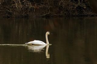Tundra Swan, ML52251401