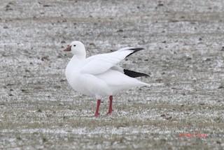 Ross's Goose, ML52251941