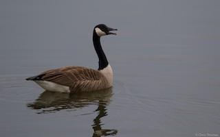 Canada Goose, ML52264371