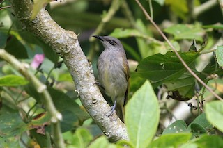 - Indonesian Honeyeater