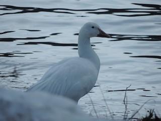 Snow Goose, ML52385071