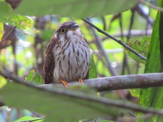 - Moustached Hawk-Cuckoo