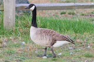 Canada Goose, ML52614561