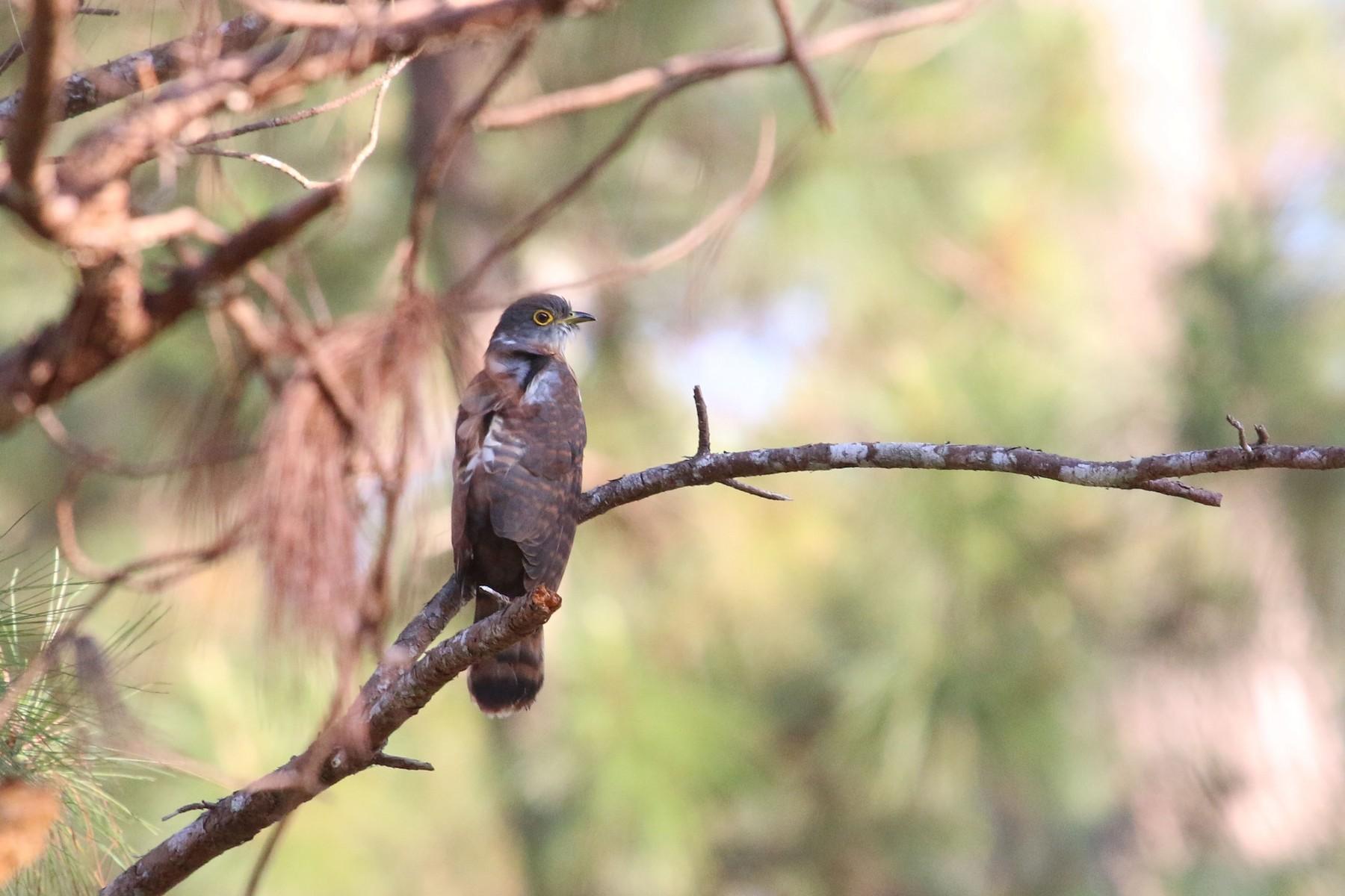 Philippine Hawk-Cuckoo - Allison Miller