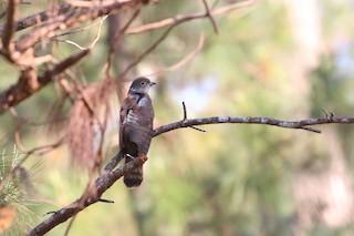 - Philippine Hawk-Cuckoo