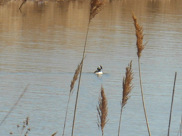 Bufflehead