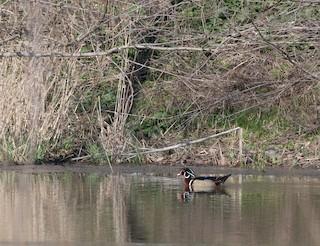 Wood Duck, ML52793121