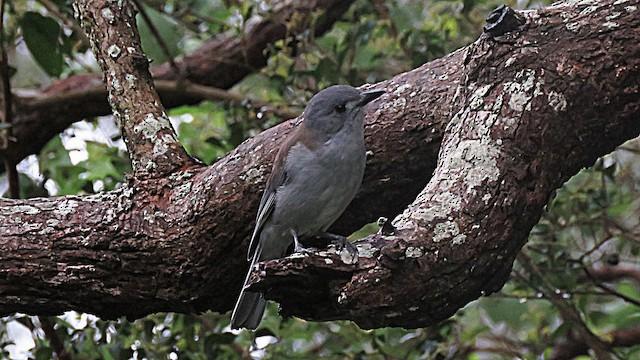 Gray Shrikethrush