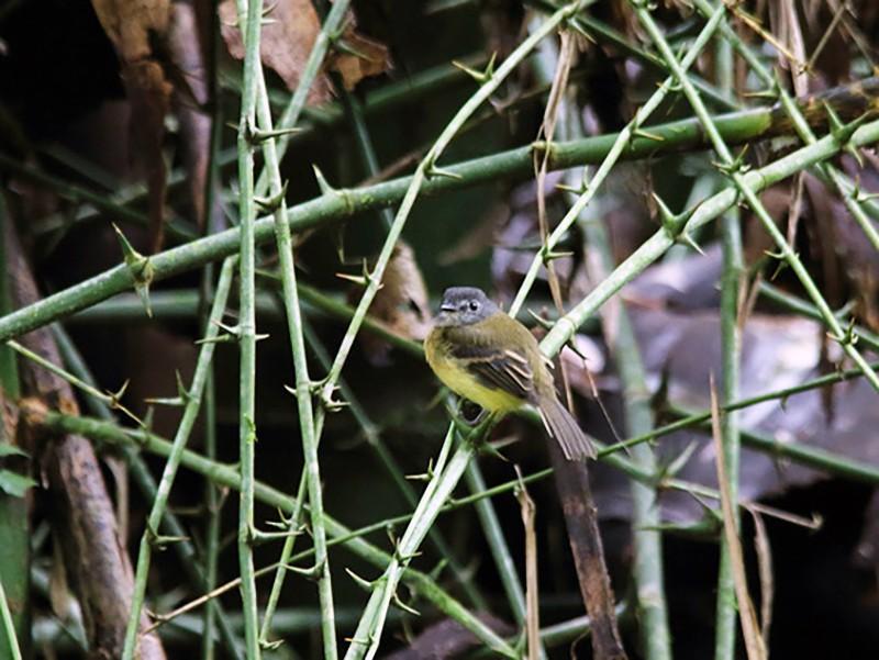 Tawny-chested Flycatcher - Marcelo Corella