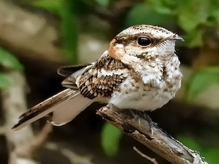 - White-tailed Nightjar