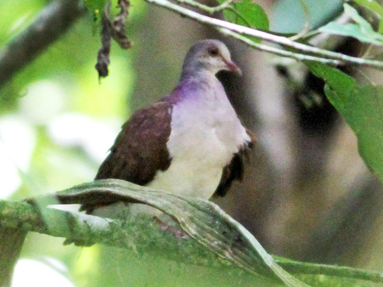 Violaceous Quail-Dove - Georges Duriaux