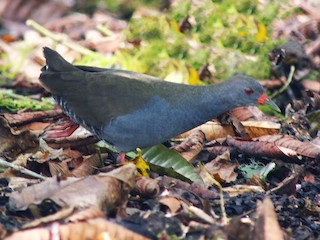 - Paint-billed Crake