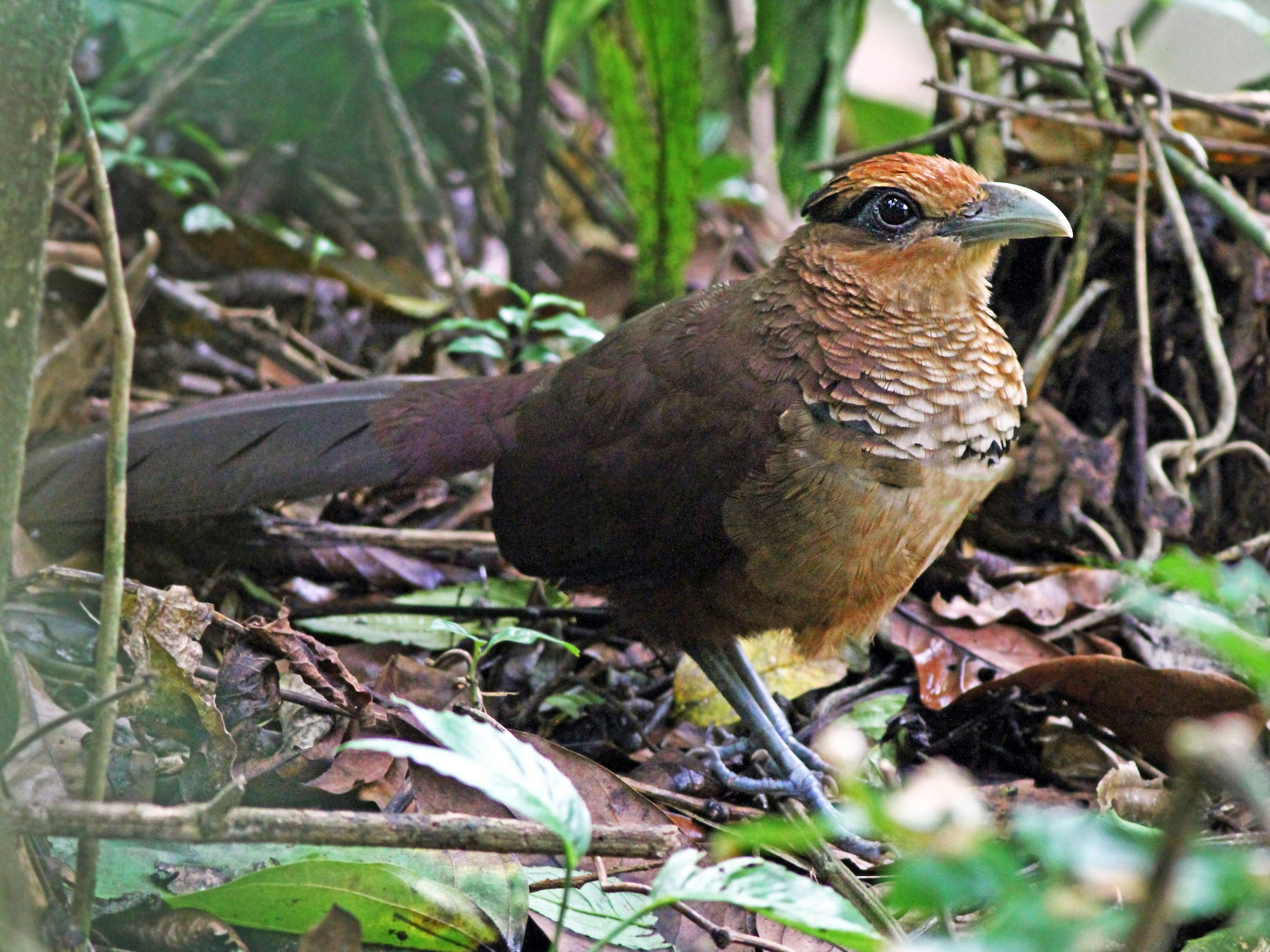 Rufous-vented Ground-Cuckoo - Andrew Spencer