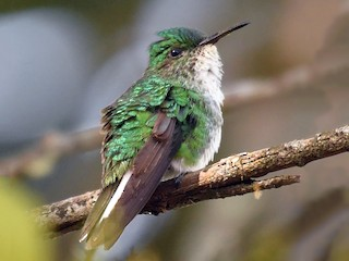 - White-tailed Emerald