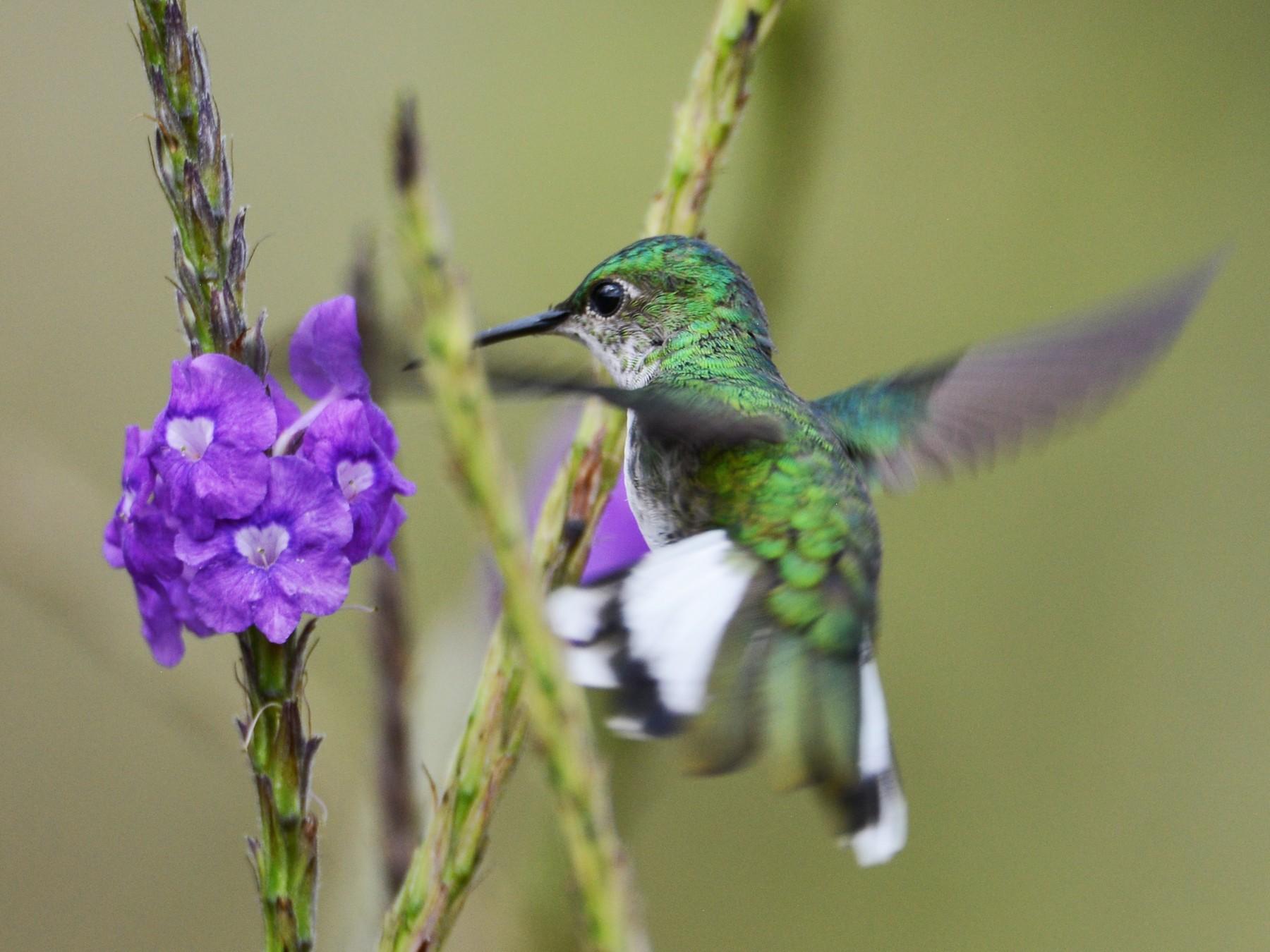 White-tailed Emerald - Alan Van Norman