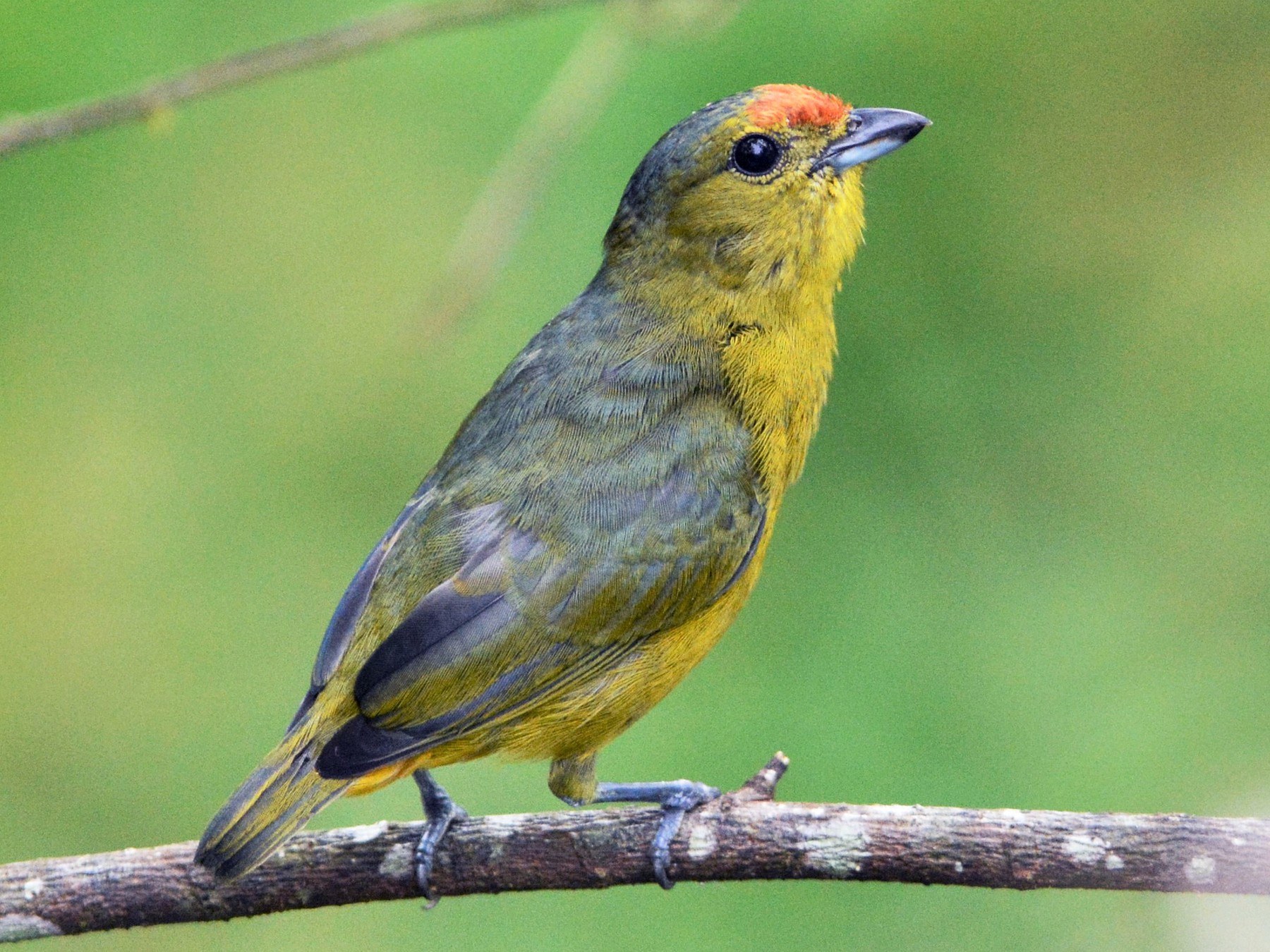 Spot-crowned Euphonia - David Hollie