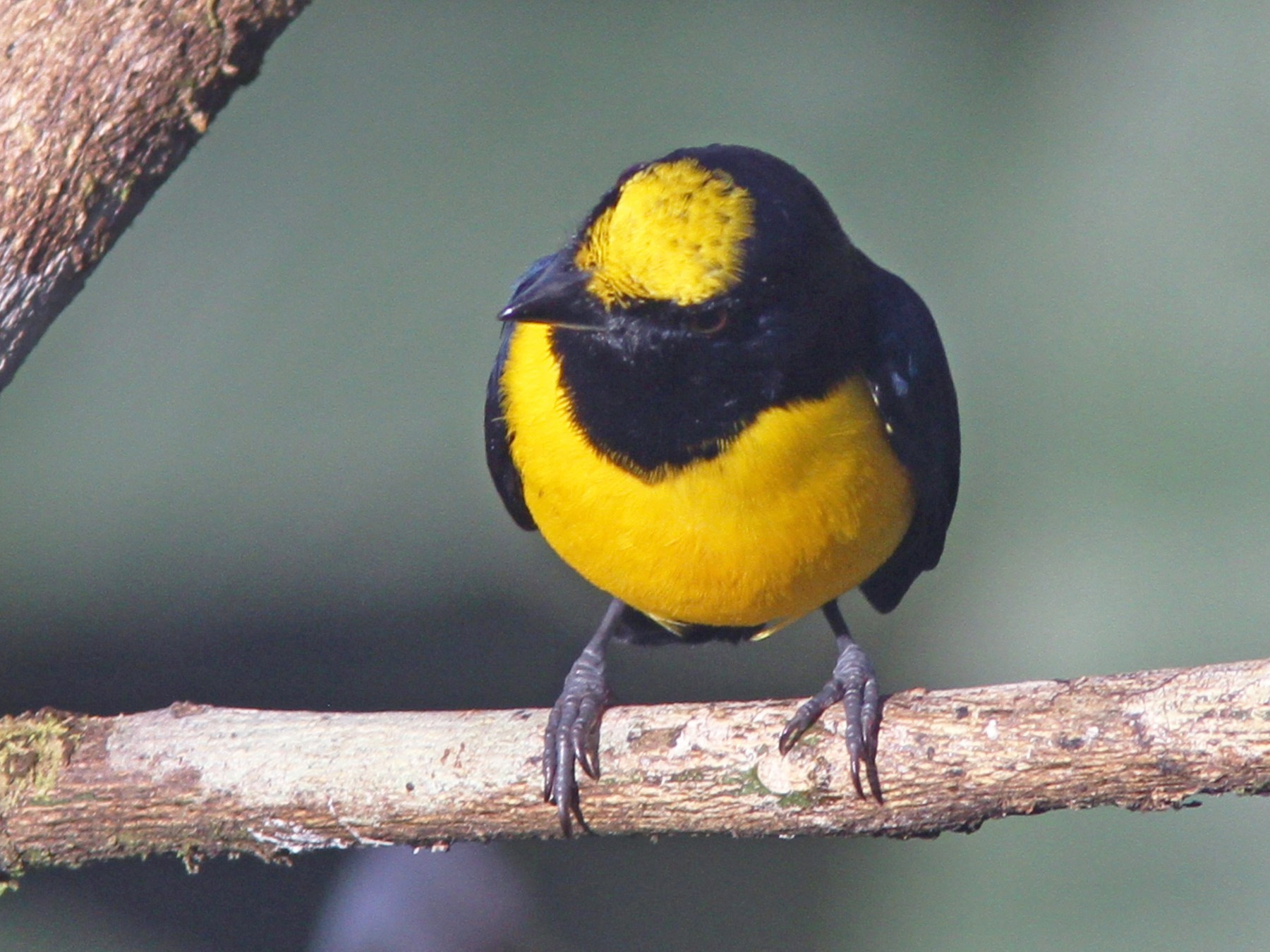 Spot-crowned Euphonia - Larry Therrien