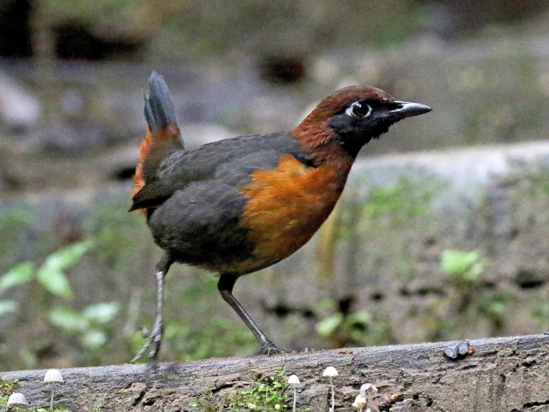 Rufous-breasted Antthrush - Jay McGowan