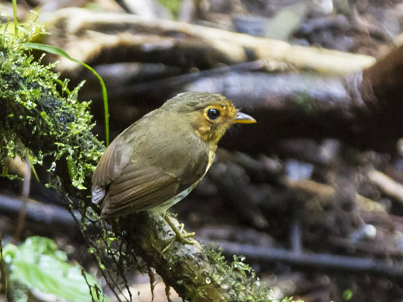 Ochre-breasted Antpitta - Michael Todd