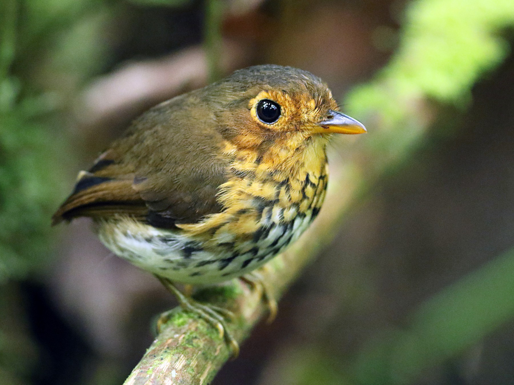 Ochre-breasted Antpitta - Luke Seitz