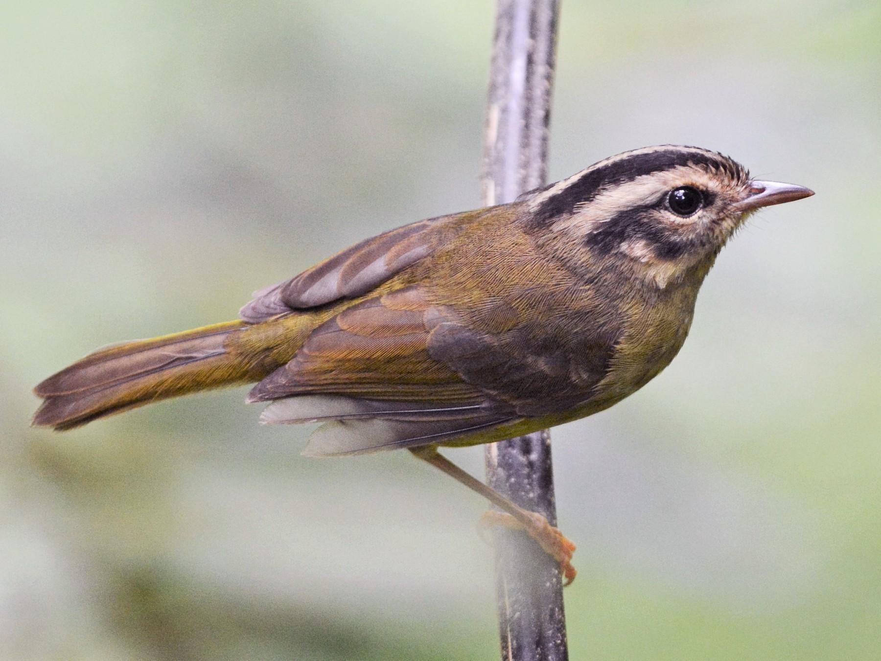 Costa Rican Warbler - David Hollie