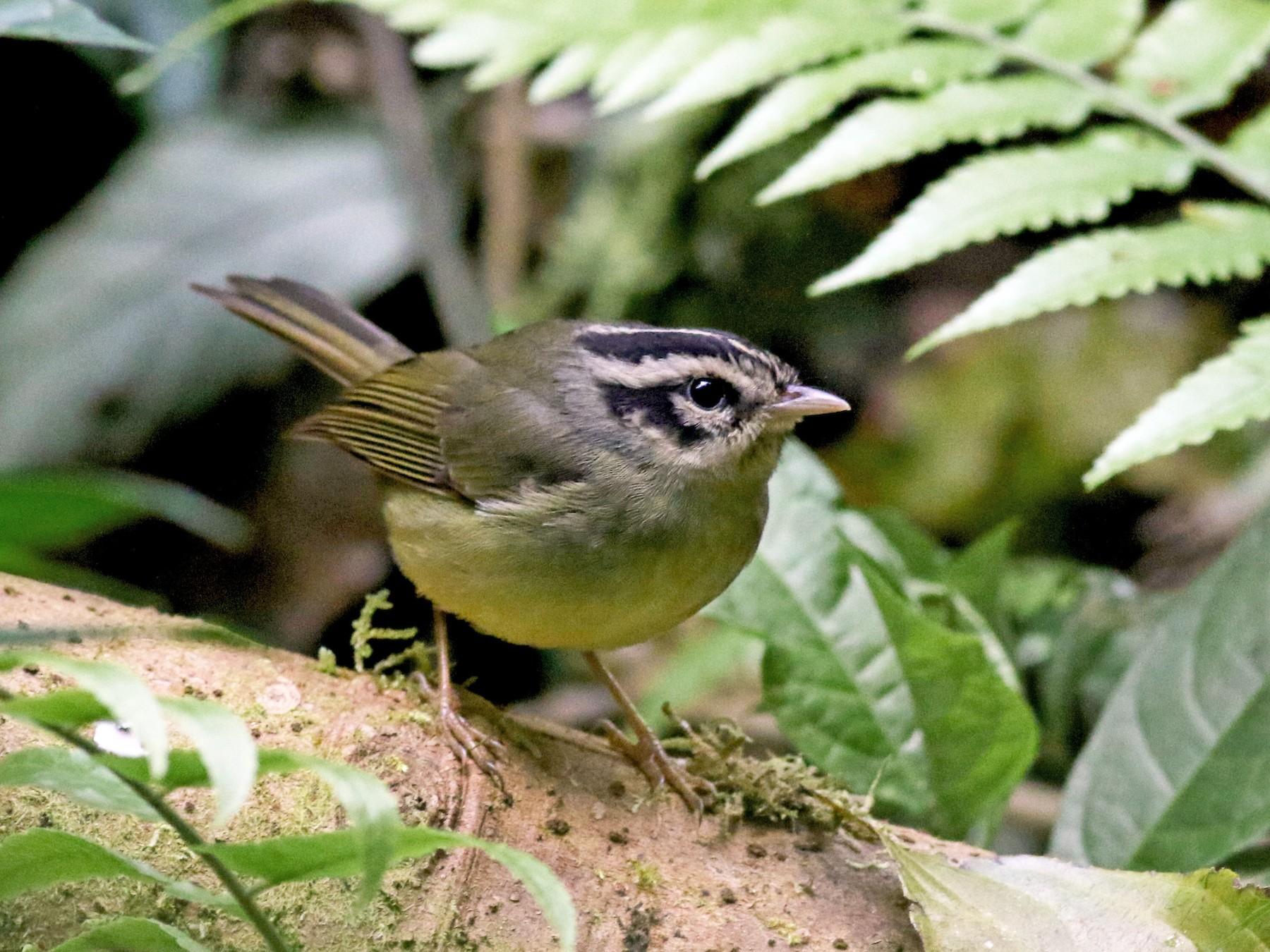 Costa Rican Warbler - Jay McGowan
