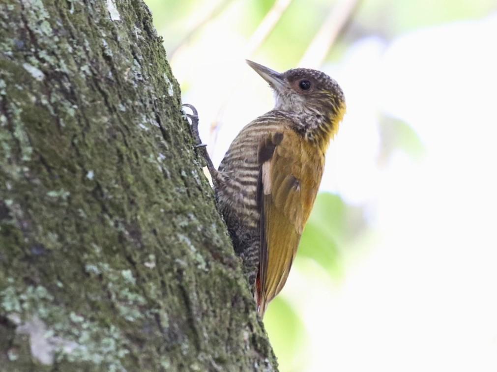 Red-rumped Woodpecker - Knut Hansen