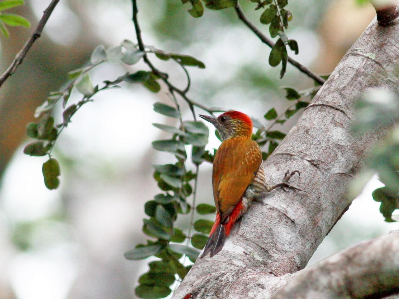 Red-rumped Woodpecker - Jay McGowan