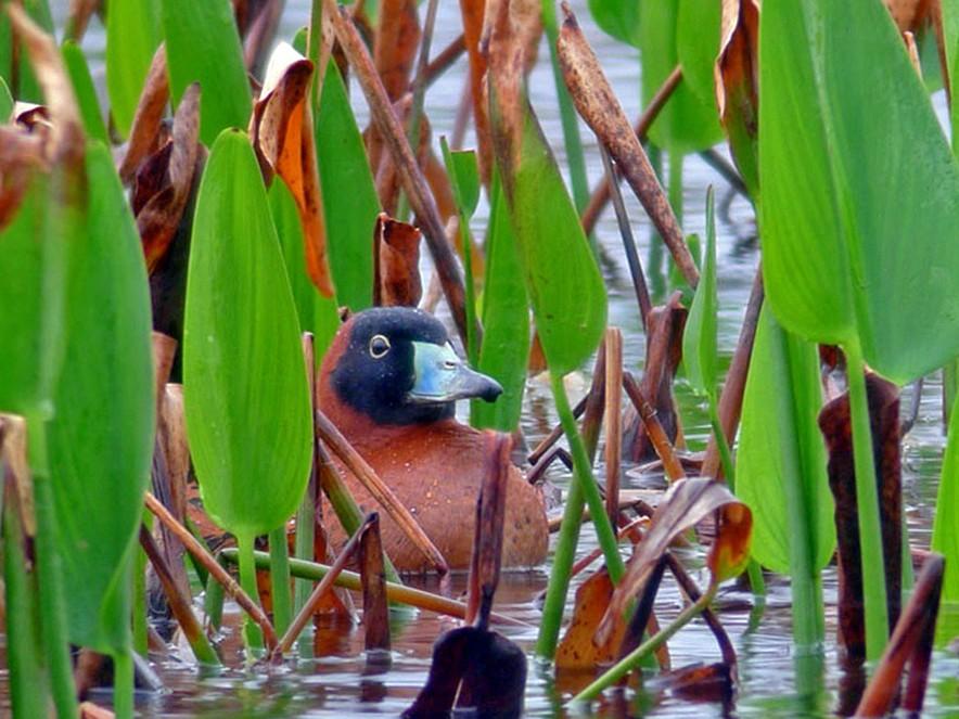 Masked Duck - Jeff Bouton