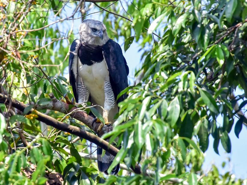 Harpy Eagle - Joao Quental JQuental