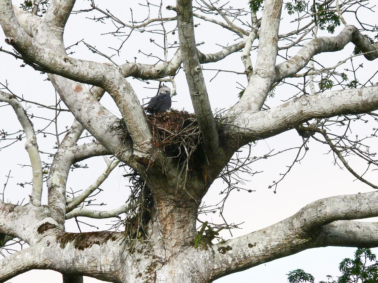 Harpy Eagle - Michael Todd