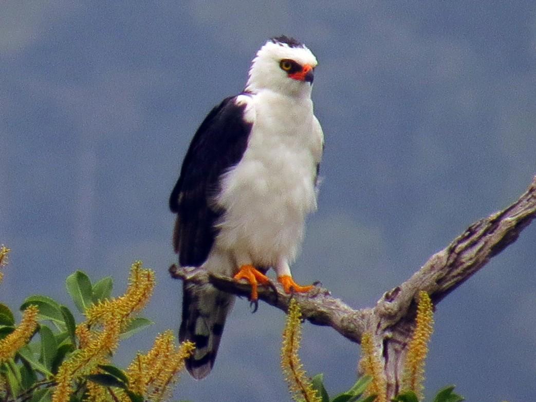 Black-and-white Hawk-Eagle - Jorge Muñoz García   CAQUETA BIRDING