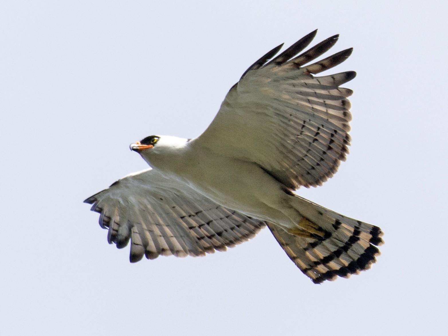 Black-and-white Hawk-Eagle - John  Gordon