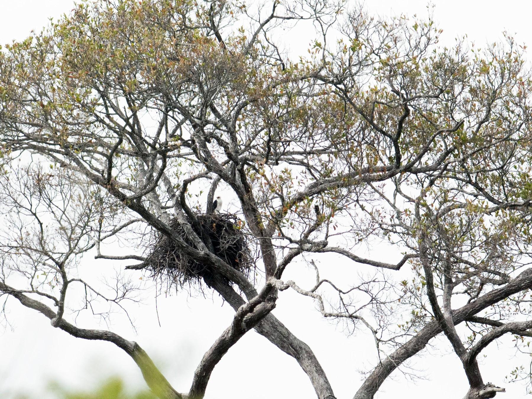 Black-and-white Hawk-Eagle - Hudson - BirdsRio