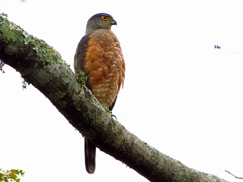 Bicolored Hawk - Fabricio Gorleri